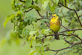 Yellowhammer (Emberiza citrinella), front view of an adult male singing from a tree, Abruzzo, Italy