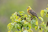 Yellowhammer (Emberiza citrinella), side view of an adult male singing from a tree, Abruzzo, Italy