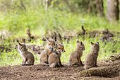 Five red fox cubs (Vulpes vulpes) in front of the foxhole, Austria, Europe