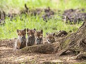 Four red fox cubs (Vulpes vulpes) in front of the foxhole, Austria, Europe