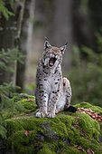 Eurasian Lynx or Northern Lynx (Lynx lynx) yawning whilst standing on a rock, Bavarian Forest National Park, Bavaria, Germany, Europe