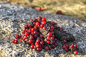 Fox droppings full of rowan fruits, visual and olfactory marker of territory, placed prominently on a rock in the Cévennes, France