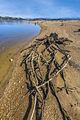 Old stumps laid bare on the shores of Lake Naussac, dam lake on the Allier, near Langogne, the stumps are normally submerged and come from the forests razed during the lake's impounding, Lozère, France