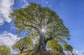 Tilleul de Sully, âgé de plus de 400 ans, Arbre remarquable planté en 1601 localisé à Innimond, Ain, France