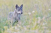 Eurasian Wolf (Canis lupus lupus), stands in a meadow, Hohen Tatra National Park, Slovakia, Europe