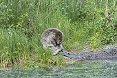 Beaver (Castor fiber), grooming, waterfront, Upper Austria, Austria, Europe