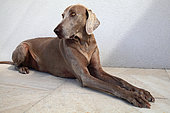 Weimar pointer female aged 7 years lying