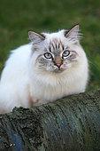 Portrait of Siberian cat adult