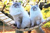 Siberian cat adults sitting on a swing