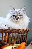 Portrait of Siberian cat adult in a basket