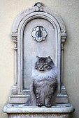 Siberian cat adult sitting in a fountain