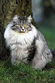 Siberian cat adult sitting in a garden