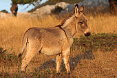 Young Provence donkey in tall grass, France