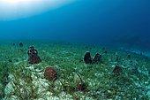 Noble Pen Shells (Pinna nobilis), protected species, Kas, Lycia, Turkey, Mediterranean, Asia