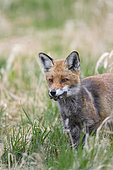 Red fox (Vulpes vulpeswith mouse in catch on a meadow, April, Hessen, Germany