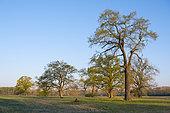 Old oak trees in April, Hessen, Germany