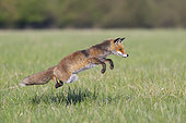 Red fox (Vulpes vulpes) hunting rodents in a meadow, April, Hesse, Germany