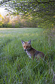 Red fox (Vulpes vulpes) in a meadow near an hedge, April, Hesse, Germany