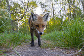 Red fox (Vulpes vulpes) on a forest path, April, Hesse, Germany