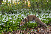 Red fox (Vulpes vulpes) in wild garlic, April, Hesse, Germany