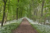 Forest path with wild garlic (Allium ursinum) in April, Hessen, Germany