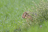 European hare (Lepus europaeus) at the edge of the field, April, Hesse, Germany