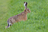 European hare (Lepus europaeus) on a grass-covered country lane, April, Hesse, Germany