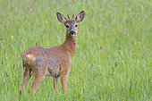 Roebuck (yearling) on a meadow, April, Hesse, Germany