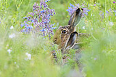 European hare (Lepus europaeus) in a meadow, April, Hesse, Germany