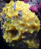 Yellow aplysilla (Aplysilla sulfurea)