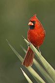 Northern Cardinal (Cardinalis cardinalis), Texas, USA