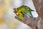 Budgerigar (Melopsittacus undulatus), pair at nest, Queensland, Australia