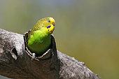 Budgerigar (Melopsittacus undulatus), Queensland, Australia