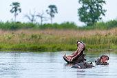 Common hippopotamus or Hippo (Hippopotamus amphibius) showing threat display. Okavango Delta. Botswana