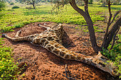 Dead South African giraffe or Cape giraffe (Giraffa giraffa giraffa). Northern Cape. South Africa.