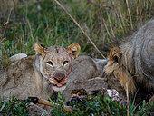 Lion (Panthera leo) feeding on a lowland nyala or nyala (Tragelaphus angasii). KwaZulu Natal. South Africa