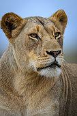Lion (Panthera leo). KwaZulu Natal. South Africa
