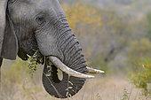 African bush elephant (Loxodonta africana) aka African savanna elephant or African elephant. Limpopo Province. South Africa