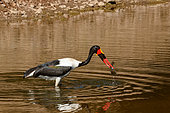 Saddle-billed stork or saddlebill (Ephippiorhynchus senegalensis) in a waterhole with a African sharptooth catfish or barbel (Clarias gariepnus) that it has caught. Botswana