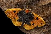 Sundaroa (Sundaroa sexmacula), imago, Kinabalu NP, Borneo, Malaysia