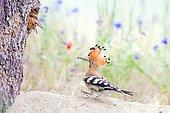 Hoopoe (Upupa epops) feeding its young, Middle Elbe Biosphere Reserve, Saxony-Anhalt, Germany, Europe