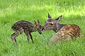 Sika Deer (Cervus nippon), doe with newborn fawn, captive, Bavaria, Germany, Europe