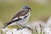White-winged Snowfinch (Montifringilla nivalis), side view of an adult standing on a rock with food for nestlings in its bills, Abruzzo, Italy