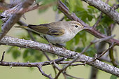 Western Bonelli's Warbler (Phylloscopus bonelli), side view pf an adult perched in a bush, Abruzzo, Italy