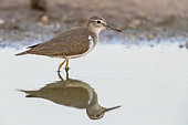 Common Sandpiper (Actitis hypoleucos), side view of a juvenile standing in a pond, Campania, Italy