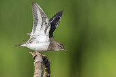 Common Sandpiper (Actitis hypoleucos), side view of an adult stratching its wings, Campania, Italy