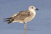 Yellow-legged Gull (Larus michahellis), side view of a juvenile standing on the shore, Campania, Italy