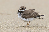 Ringed Plover (Charadrius hiaticula), side view of a juvenile standing on a beach, Campania, Italy