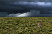 Cheetah (Acinonyx jubatus) in front of a gathering storm, Serengeti, Tanzania, Africa