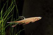 Copella d'Arnold (Copella arnoldi) mâle